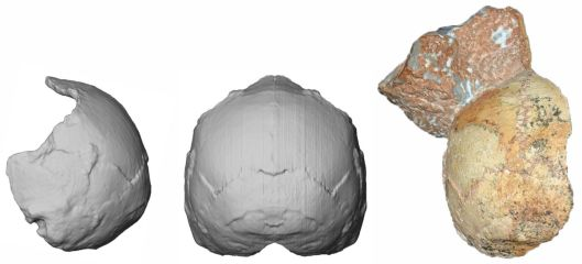 The Apidima 1 partial cranium (right) and its reconstruction from posterior view (middle) and side view (left). Harvarti et al., 2019