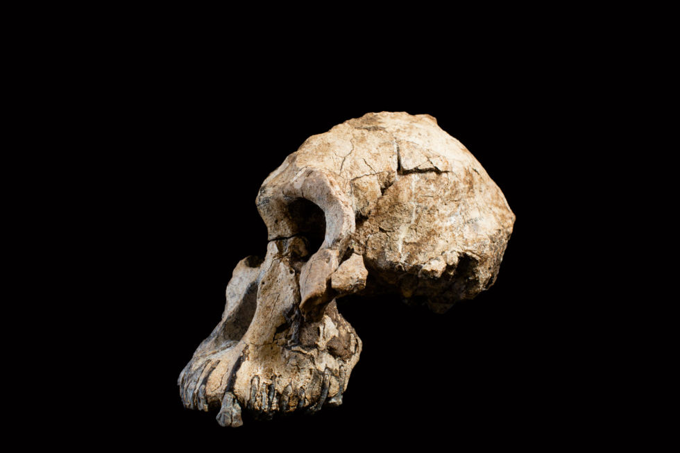 The 3.8 million-year-old fossil skull of Australopithecus anamensis.  Photograph courtesy of the Cleveland Museum of Natural History